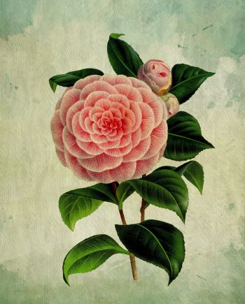 Camellia decor Camellia art Camellia gift botanical print flower kitchen decor floral print floral wall decor Camellia wall art Canvas