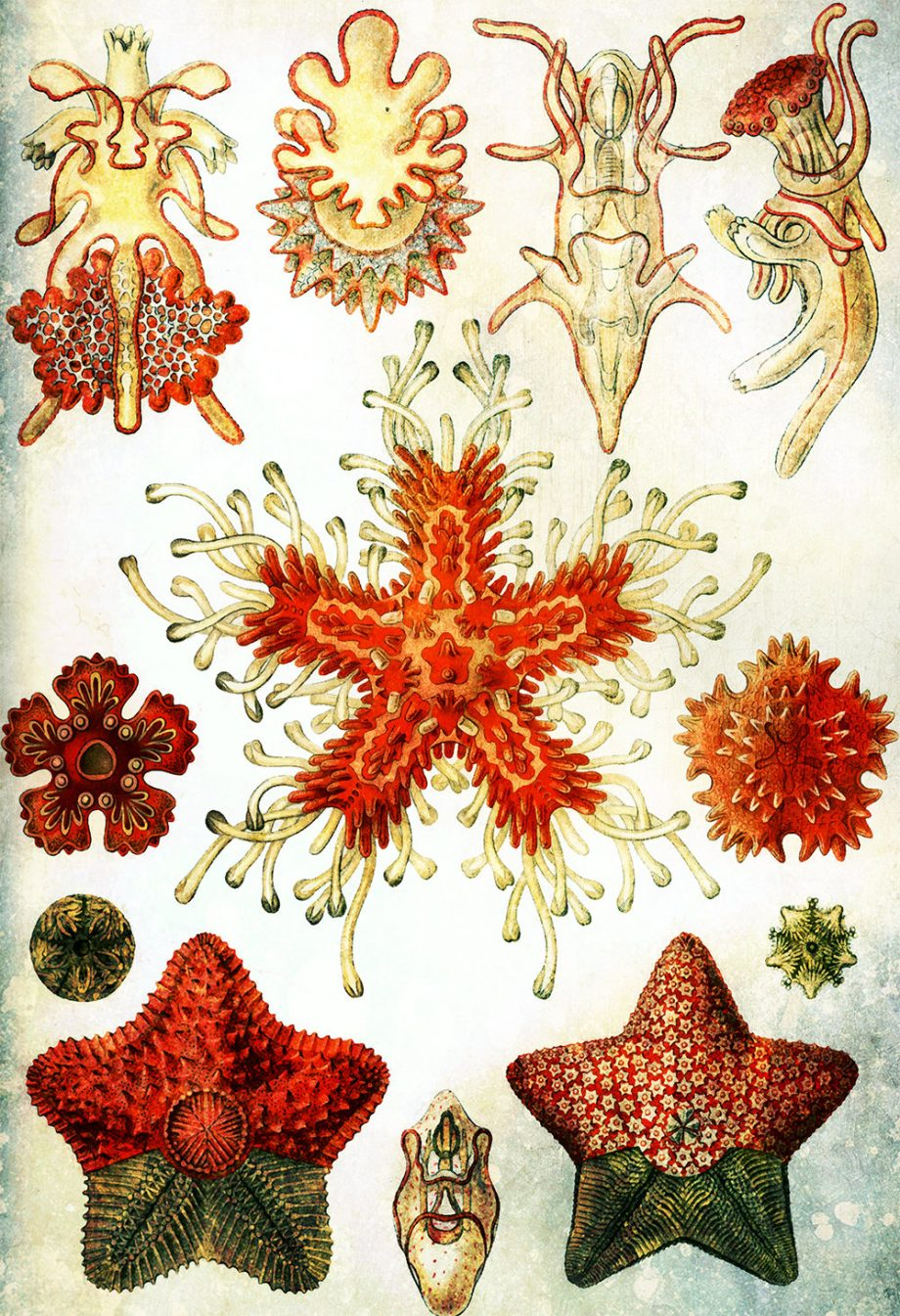ernst-haeckel-asteridea-print-starfish-art-vintage-nautical-decor-ocean-wall-art-giclee-print-on-cotton-canvas-and-paper-canvas-5817b3094.jpg