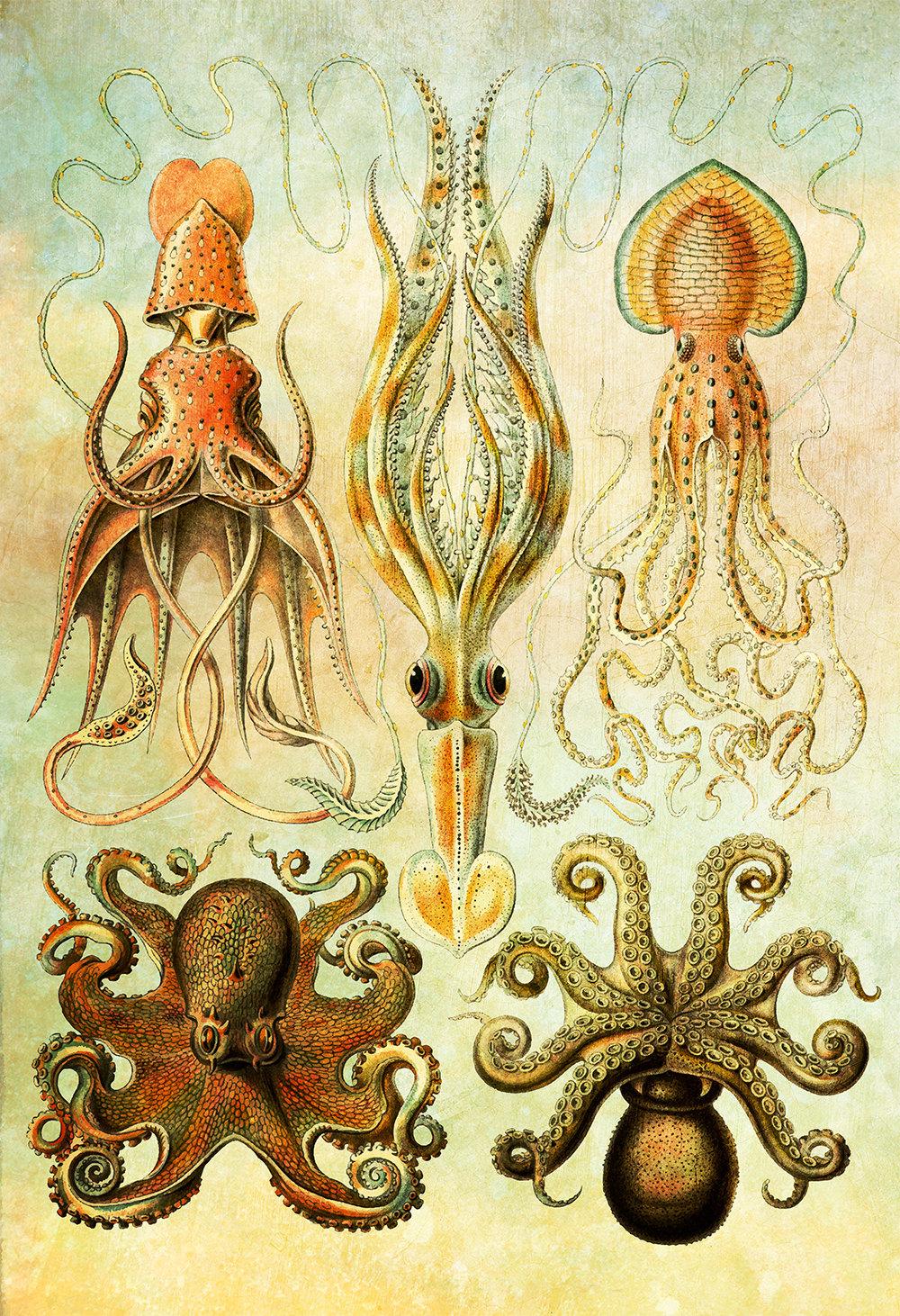 Ernst Haeckel Gamochonia Print Octopus and Squid Art Vintage ...