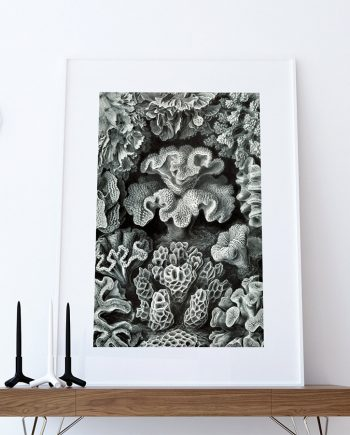 Ernst Haeckel Hexacoralla Print Sea Coral Art Vintage Nautical Decor Ocean Wall Art - Giclee Print on Cotton Canvas and Paper Canvas