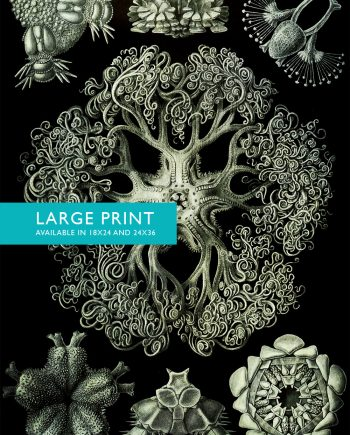 Ernst Haeckel Ophiodea Print Marine Invertebrate Art Vintage Nautical Decor Ocean Wall Art - Giclee Print on Canvas & Satin
