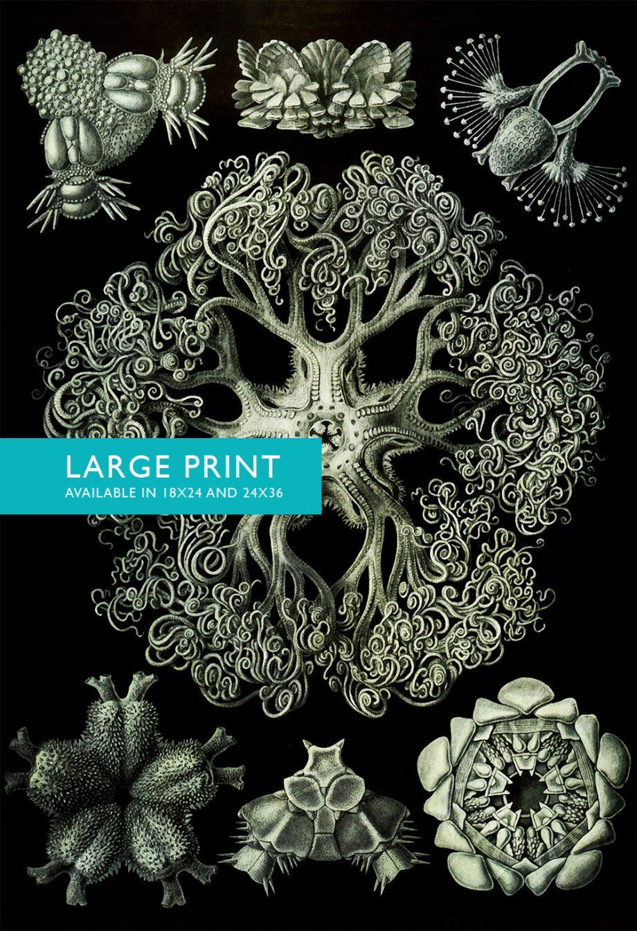 Ernst Haeckel Ophiodea Print Marine Invertebrate Art Vintage Nautical Decor Ocean Wall Art - Giclee Print on Canvas & Satin