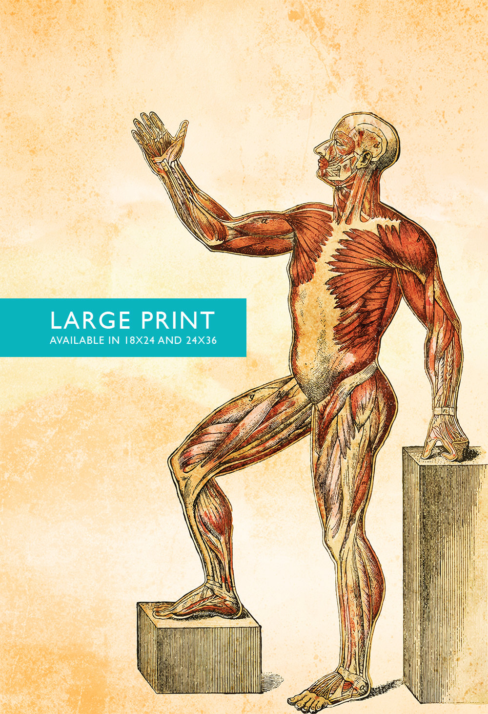 Medical Illustration Vintage Victorian Human Muscle Anatomy Poster ...