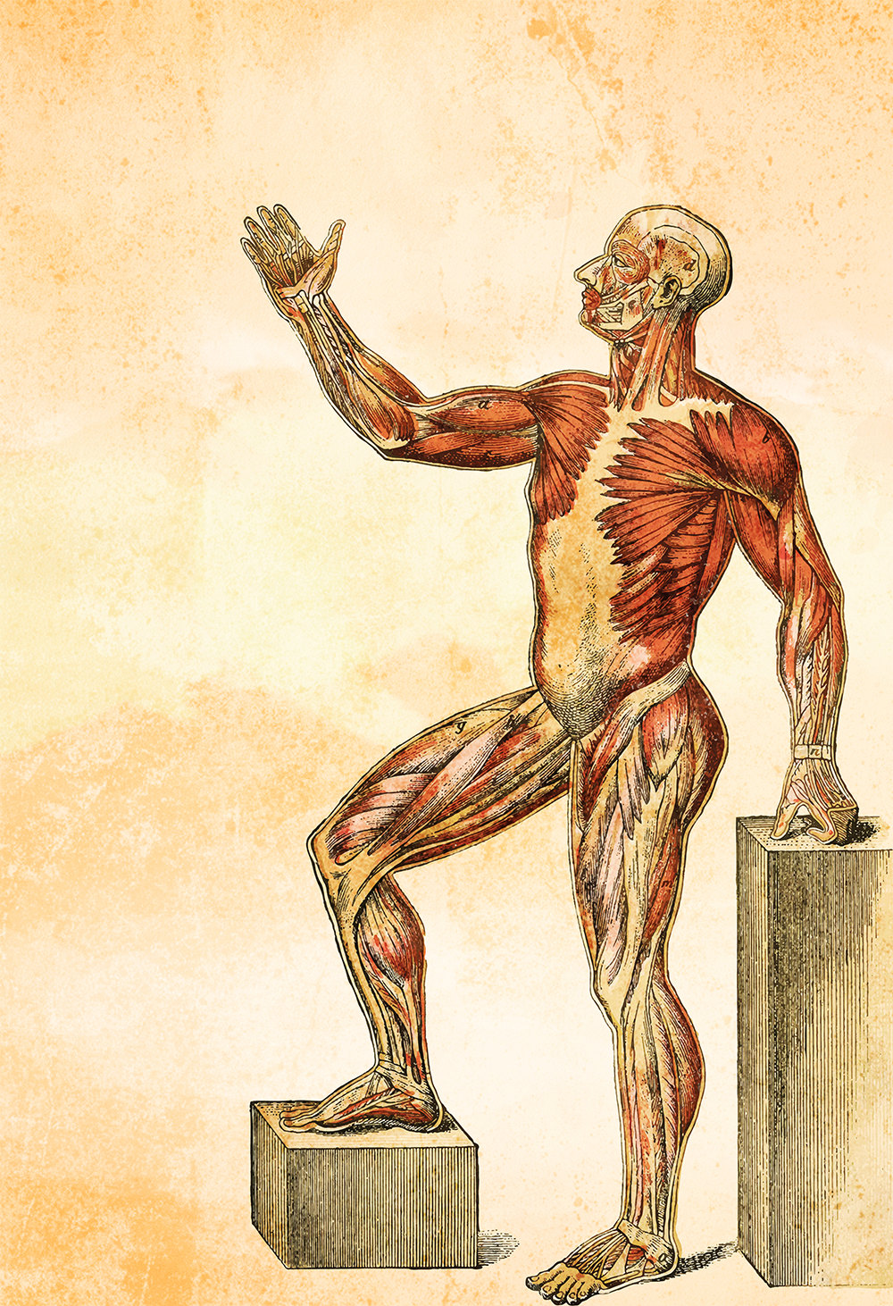Medical Illustration Vintage Victorian Human Muscle Anatomy Poster ...