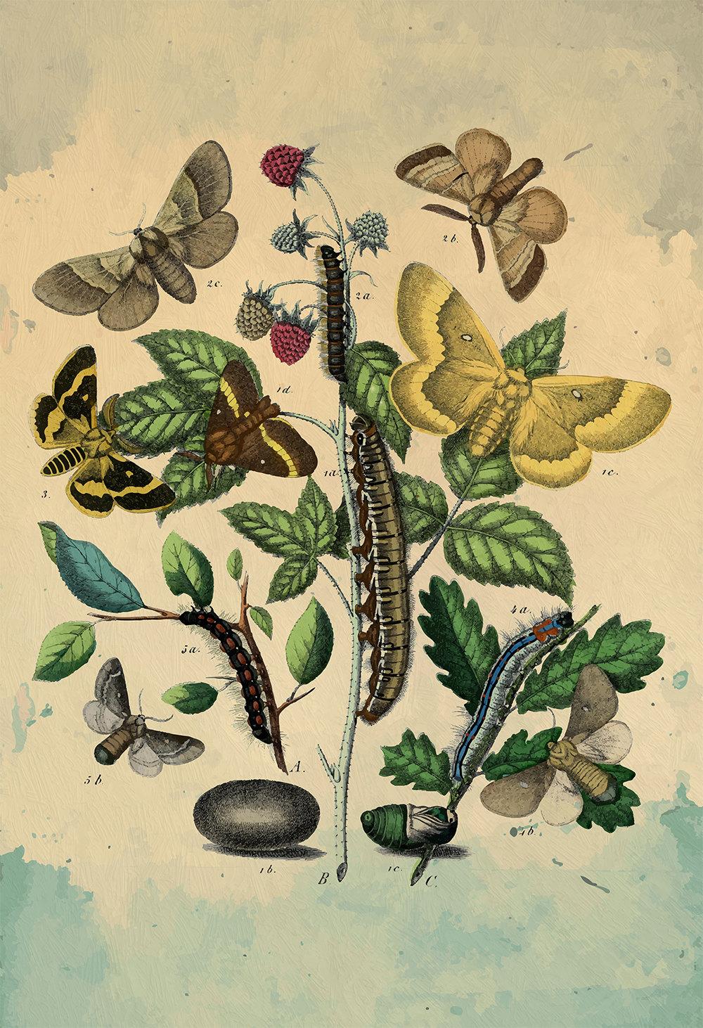 Moth art Caterpillar botanical Natural Botanical print decor Moth ...