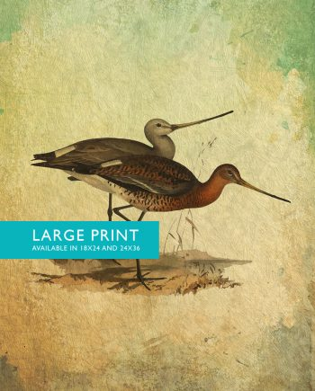Vintage Bird Illustration Natural History Print Vintage Illustrated Black Tailed Godwit Giclee on Cotton Canvas and Satin Photo Paper