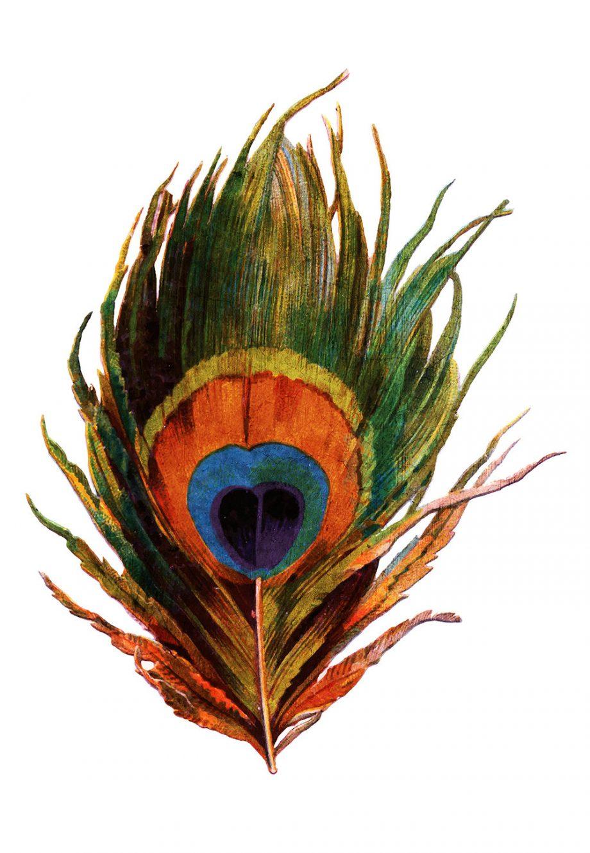 Vintage Peacock Feather Print Vintage Bird Prints Illustrated Bird Print Bird Wall Decor Natural History Wall Art