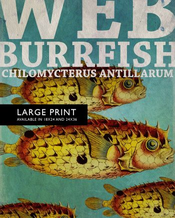 "Vintage Web Burrfish Fish Print 18x24"" 24x36"" Victorian Beach Art Print Vintage Nautical Decor Ocean Wall Art Giclee Print on Canvas & Satin"
