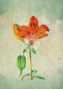 Asiatic-Lily-Watermark